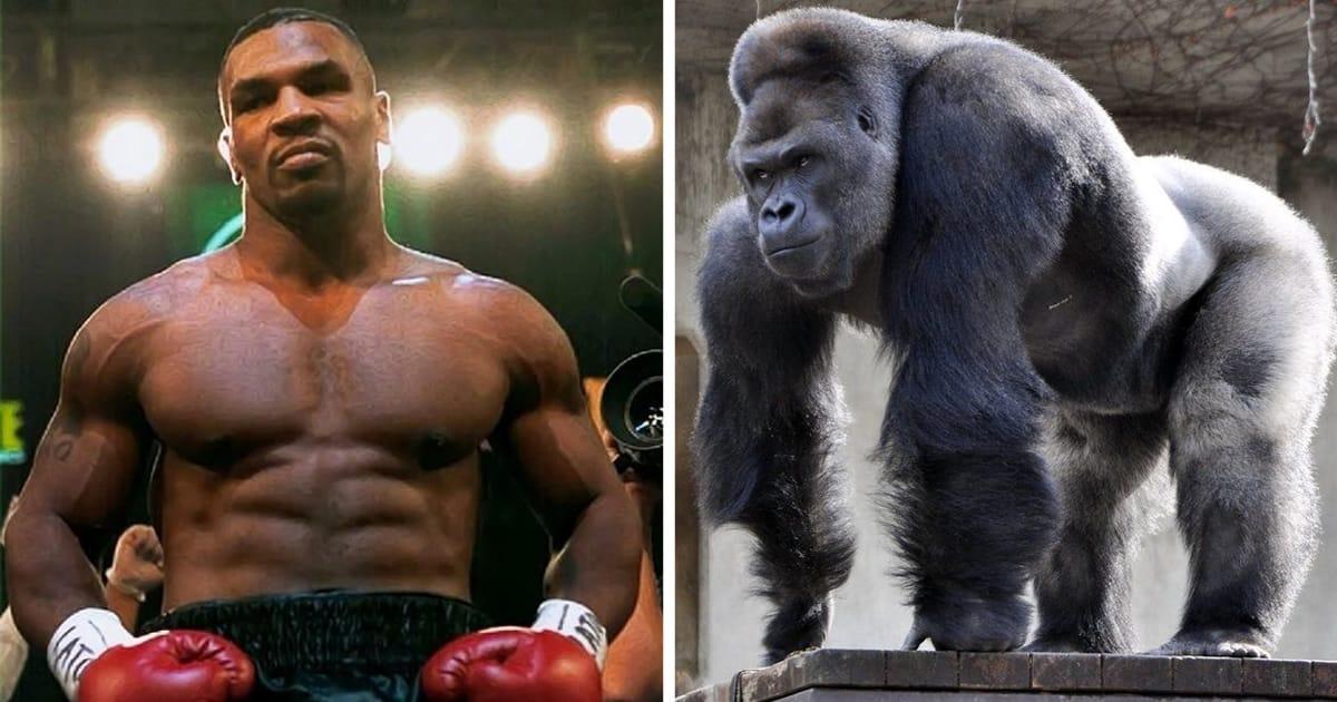 Mike Tyson Ingin Duel dengan Gorilla, Siap Keluarkan Uang Hingga Ratusan Juta