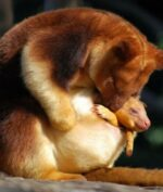 Kanguru Indonesia, Spesies yang Kurang Terkenal dan Hampir Punah! Bagaimana Rupa dan Bentuknya?