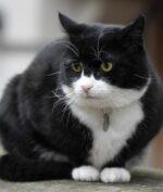 Kucing Kementerian Luar Negeri Inggris Ini Pensiun, Emang Apa Kerjanya? (Foto: AP Photo)