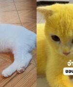 Kucing Ini Menjadi Berwarna Kuning, Apa Penyebabnya?