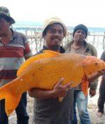 Ikan Mas Raksasa Seberat 15 Kg Ditemukan di Danau Toba, Warga Setempat Kaitkan dengan Bencana (facebook/juliarson saragih)