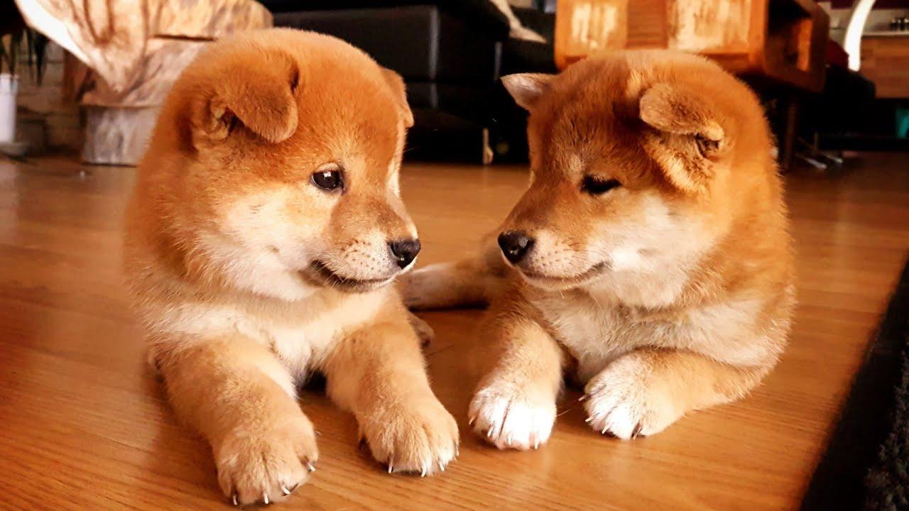 Anjing Peliharaan Terjangkit Covid-19, Pertama Kali Terjadi di Dunia (foto: shibainu shiro suki)