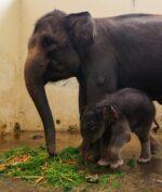 Covid Jadi Nama Bayi Gajah yang Baru Lahir, Seperti Apa Wujudnya?