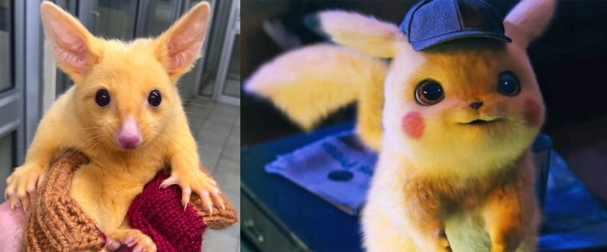 Mirip Pikachu, Hewan Ini Disebut Sebagai Pokemon Dunia Nyata
