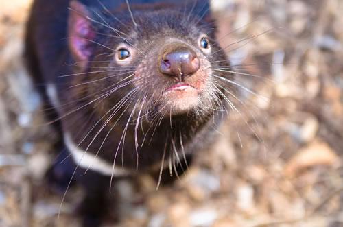 Tasmanian Devil Muncul Lagi di Australia Setelah 3.000 Tahun Menghilang!