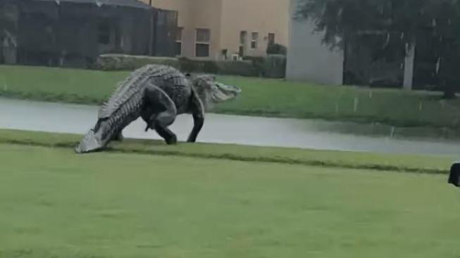 Aligator Raksasa Mirip Godzilla Tertangkap Kamera di Sebuah Lapangan Golf!