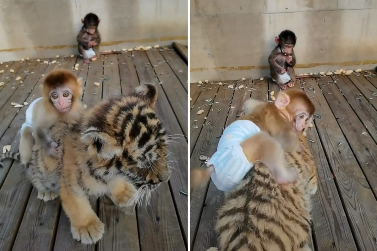 Fenomena Unik Bayi Monyet yang Bersahabat dengan Anak Macan