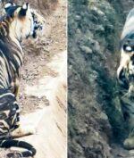 Macan Langka Ditemukan di India, Didominasi Warna Hitam Macan Tersebut Cuma Berjumlah Puluhan (SOUMEN BAJPAYEE/CATERS NEWS)