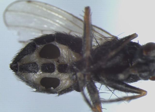 Penemuan Mengerikan: Jamur Ini Ubah Lalat Jadi Zombie! Tetap Terbang dengan Perut Berlubang