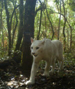 """Puma Putih """"Super Langka"""" Tertangkap Kamera, Begini Wujudnya! (Foto: National Geographic/ICMBIO)"""
