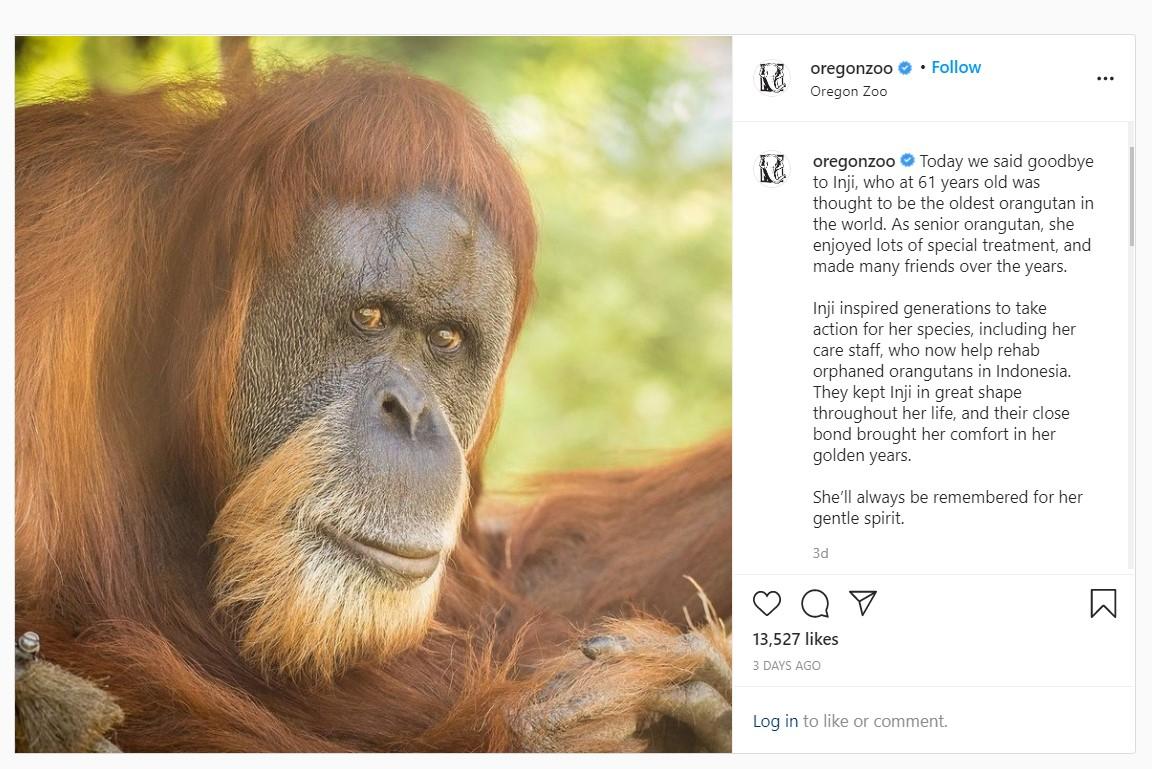 Orangutan Tertua di Dunia Tutup Usia, Netizen Berduka