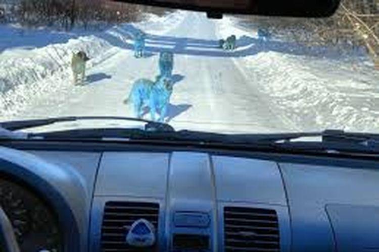 Anjing Berbulu Biru Bikin Heboh, Seperti Apa Penampilannya?