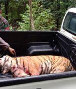 Dua Harimau Sumatera Kabur dari Kebun Binatang, Satu Ditembak Mati