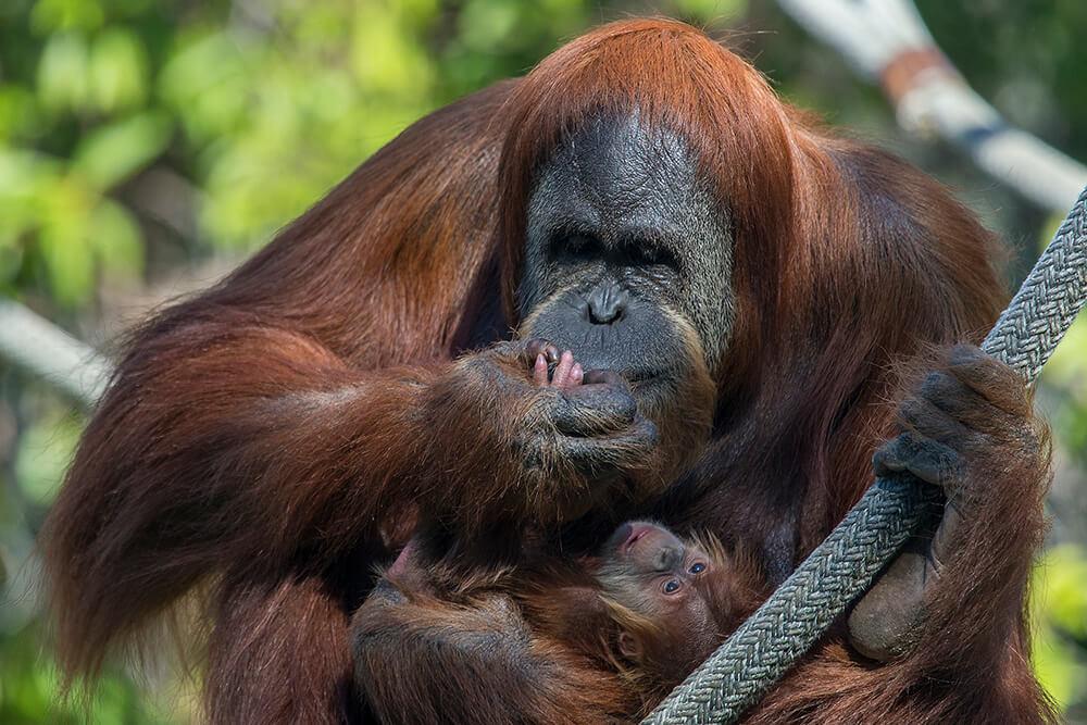 orang utan San Diego Zoo