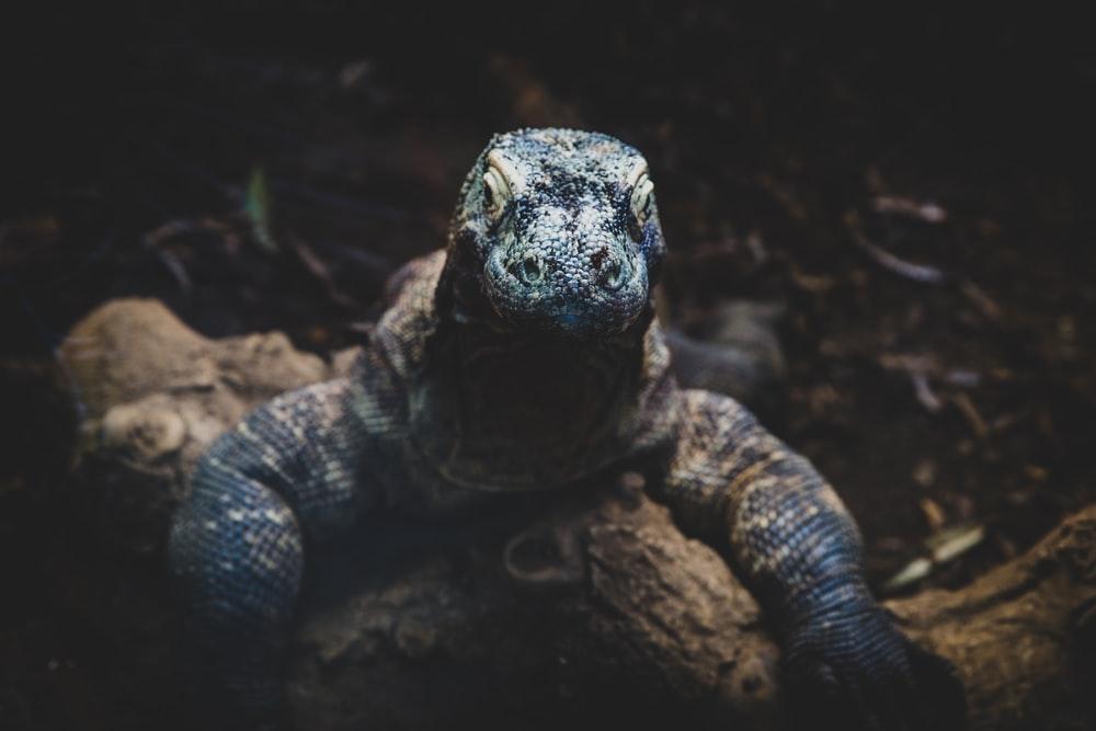 Komodo Bukan Dari Indonesia? Ini Penjelasannya!