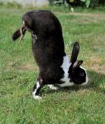 Kelinci sauteur d'Alfort dengan mutasi gen