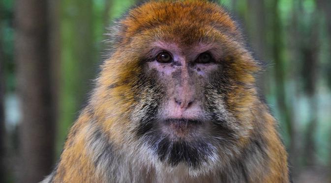 Seekor Monyet Pecandu Alkohol Dipenjara Karena Serang 250 Orang