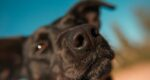 Anjing Bisa Deteksi Covid-19 Dari Bau Urine, Akurasi Capai 96 Persen