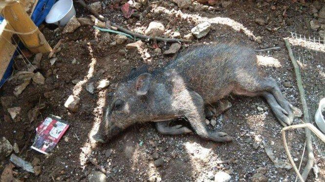 Babi Ngepet Ternyata Cuma Hoaks Dari Seorang Ustad, Apa Motifnya?