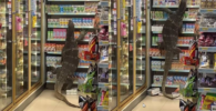 Kadal Raksasa Masuk Supermarket dan Mengubrak-Abrik Isi Toko, Videonya Viral di Media Sosial