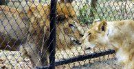delapan ekor singa di India positif covid