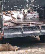 Posko Penyekatan Larangan Mudik Gagalkan Penyeludupan Anjing Untuk Konsumsi Manusia!
