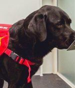 Anjing Pelacak Covid, Bisa Mengendus Hampir 90% Orang yang Tertular