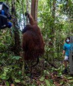 Sempat Masuk Permukiman Warga, Orang Utan Kalimantan Ini Akhirnya Dilepaskan ke Alam Liar
