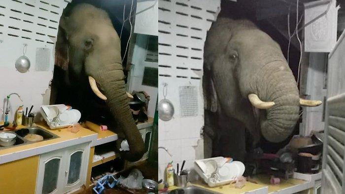 Gajah Hutan Masuk Rumah Warga untuk Cari Makan; Mirip Layanan Drive-Through Restoran Cepat Saji