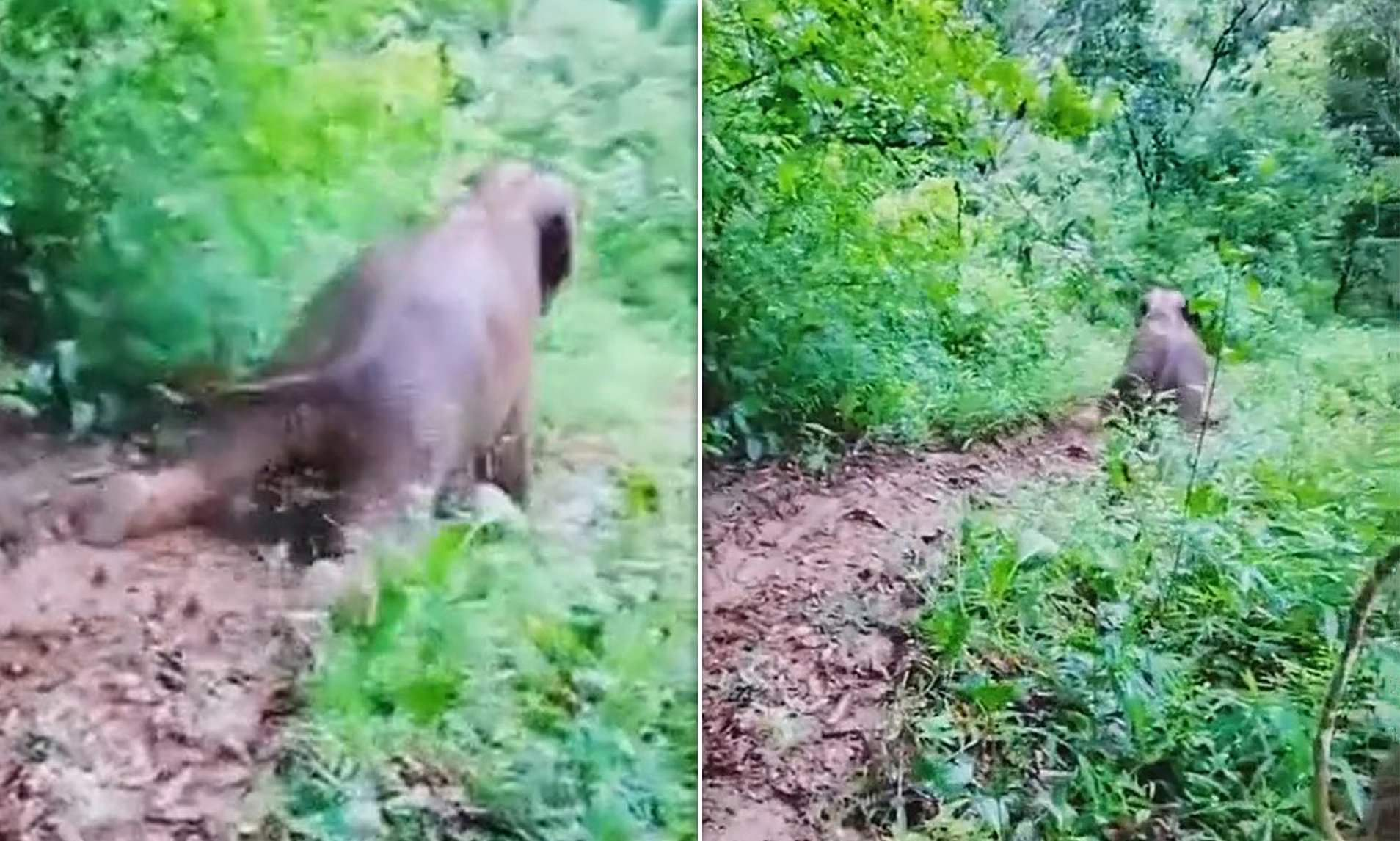 "Anak Gajah Main ""Perosotan"" di Tanah Berlumpur Hutan, Aksi Lucunya Terekam Kamera"