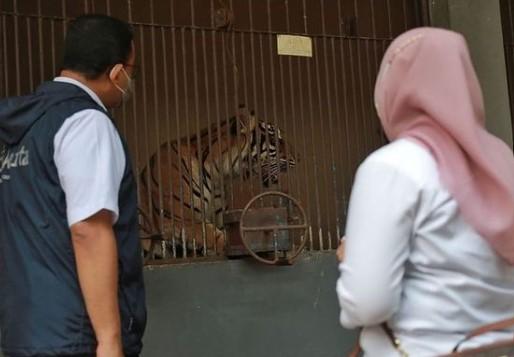 Dua Harimau Sumatera Terpapar Covid-19, Ragunan Lakukan Perawatan Itensif