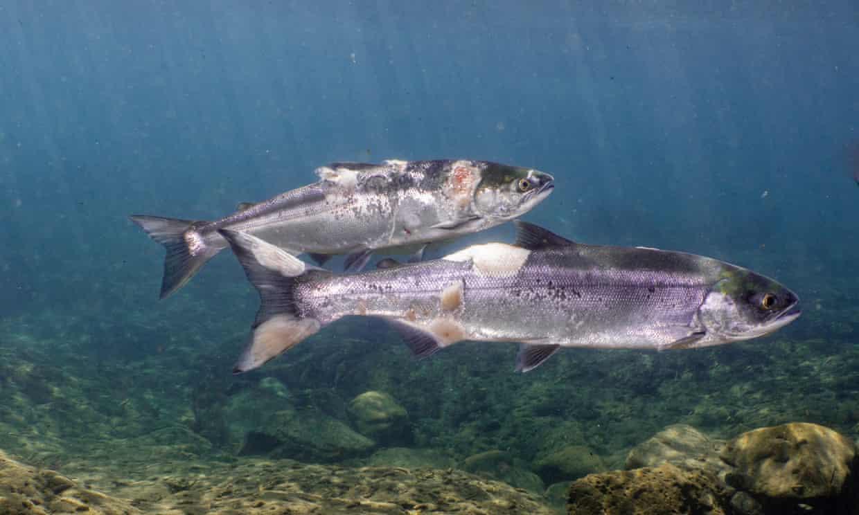 Temperatur Air Sungai Ini Ekstrem Karena Iklim, Rebus Jutaan Ikan Salmon