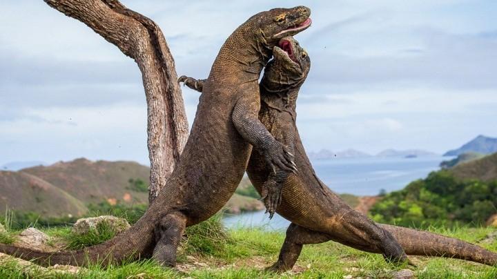 UNESCO Minta Proyek Taman Nasional Komodo Dihentikan Sementara