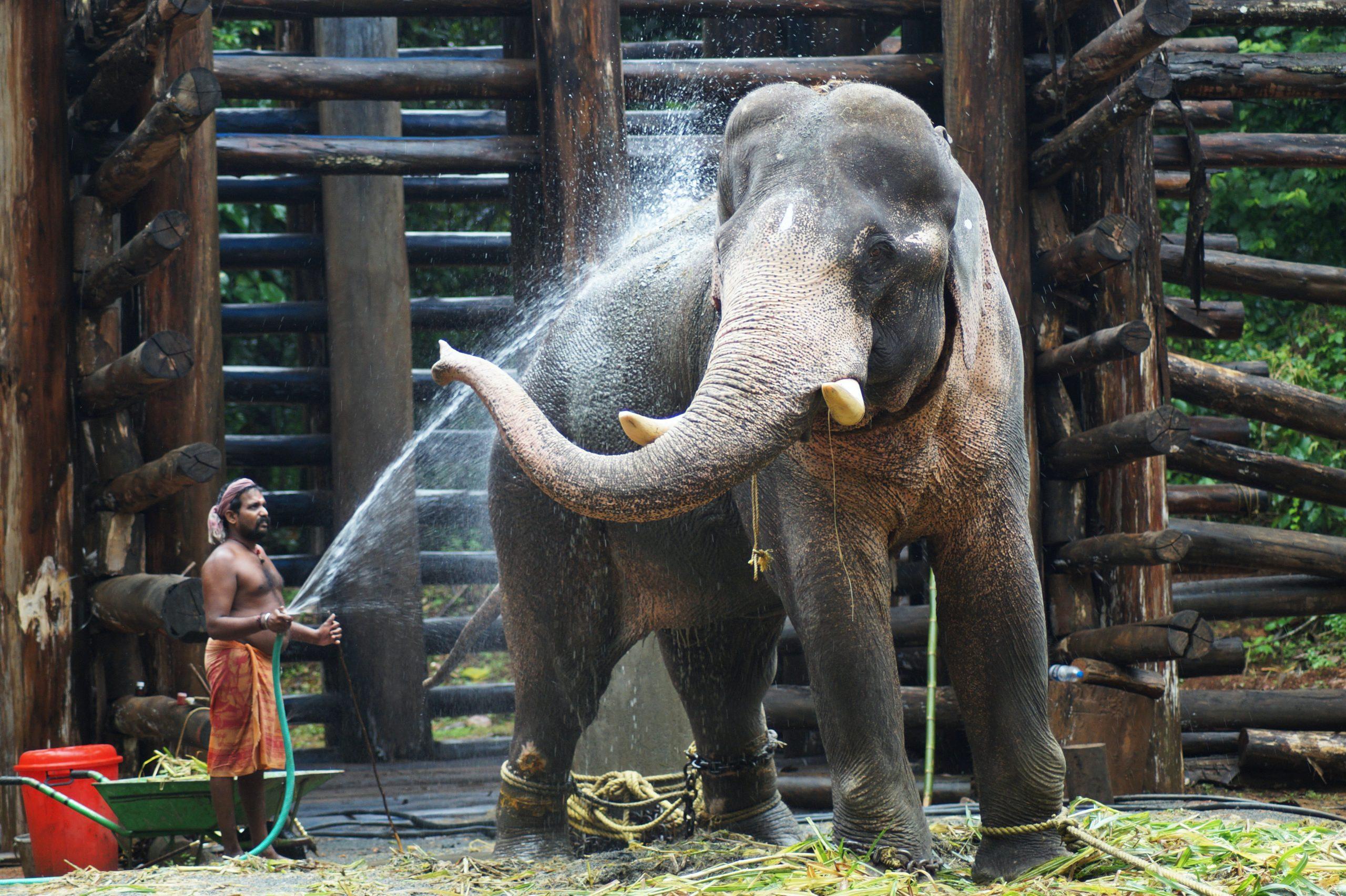 Gajah Wajib Ber-KTP dan Mandi 2,5 Jam Sehari!