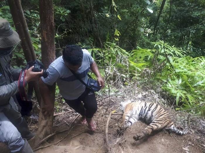 Tiga Harimau Sumatera Mati Terjerat di Hutan Lindung Aceh