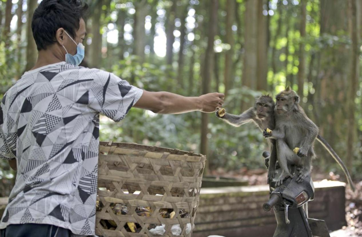 Monyet di Bali Kelaparan