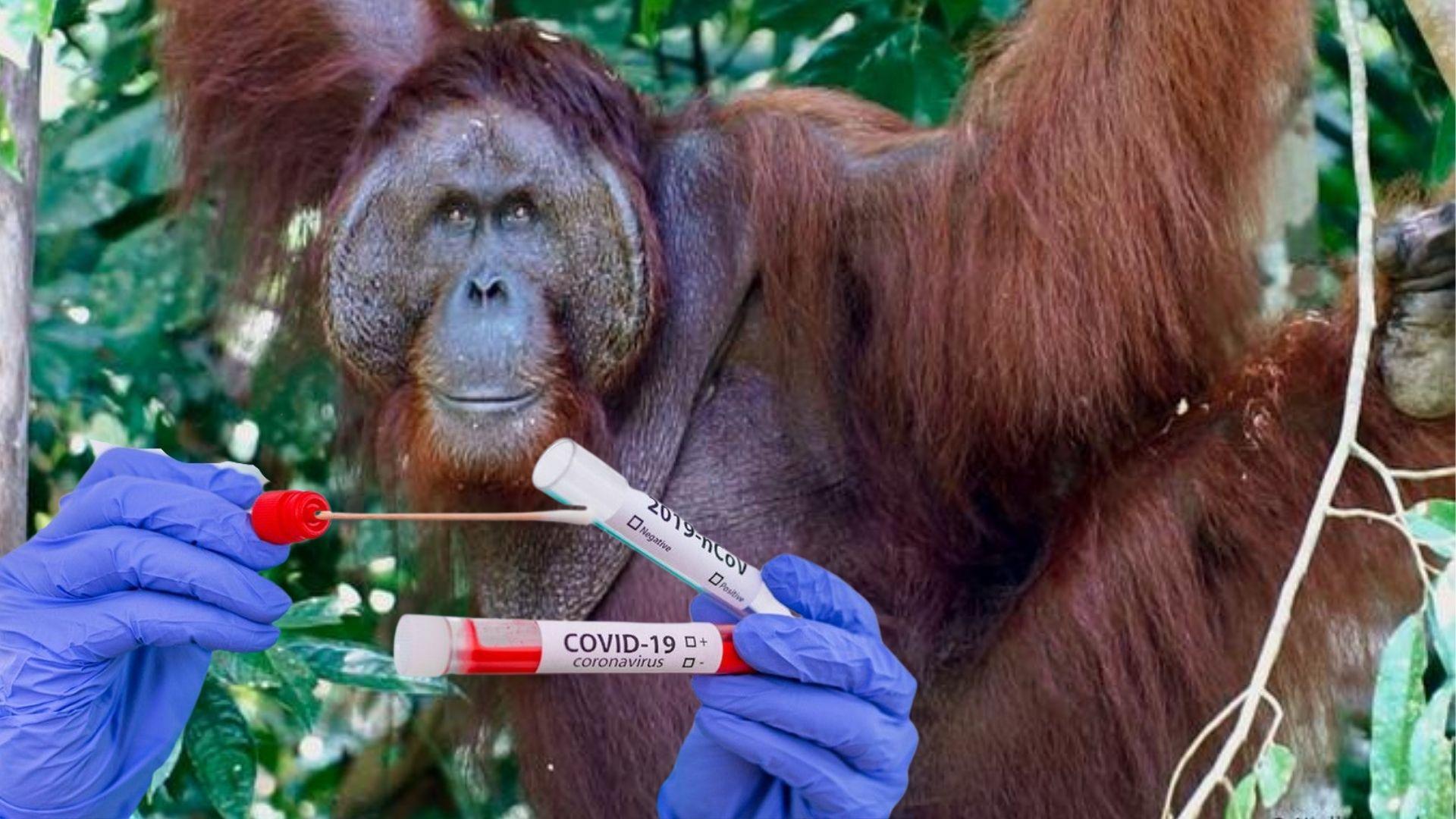 Orangutan Kalimantan Swab