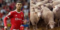 Ronaldo Pindah Rumah Gara-Gara Domba Berisik