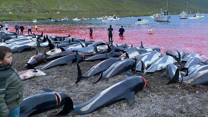 Pembantaian Lumba-Lumba Terjadi Lagi, Dunia Kecam Tradisi di Kepulauan Faroe