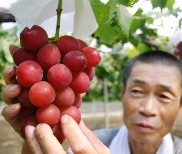 Anggur dari Jepang Ini Terjual dengan Harga Fantastis, Rp168 Juta!