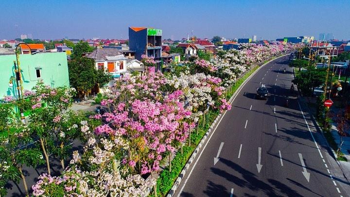 Bunga Tabebuya Bermekaran di Surabaya, Disebut Mirip Sakura Jepang