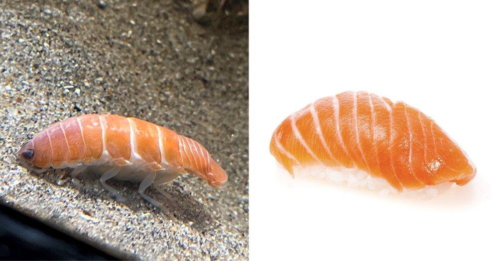 Parasit Laut Penghisap Darah Ini Punya Wujud yang Sama Persis dengan Sushi Salmon