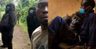 Gorila 'Selfie Photobomb' yang Sempat Viral Meninggal Dipelukan Sang Ranger