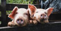 Transplantasi Ginjal Babi Ke Manusia Berhasil Dilakukan!