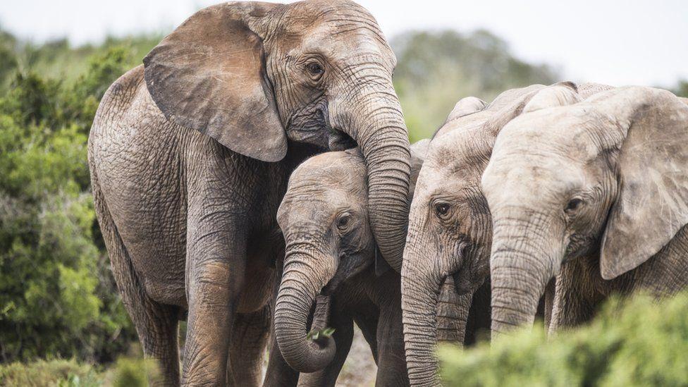 Gajah Berevolusi Lahirkan Bayi Tanpa Gading Karena Perburuan Ilegal